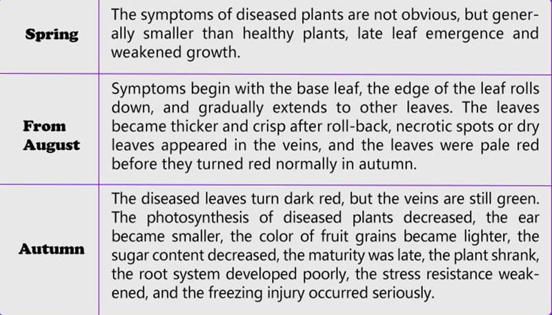What's symptom Grape leaf roll disease ?