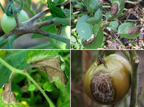 Early Blight & Late Blight | How to distinguish