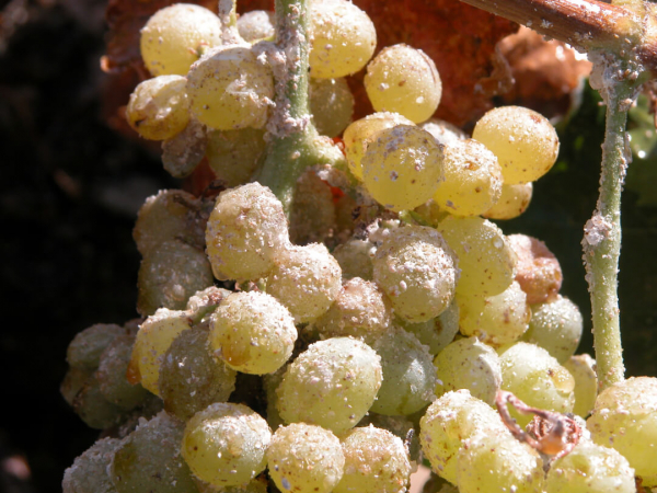 From Industrial Pesticides to Integrated Pest Management: A New Trend in Vineyard Practices