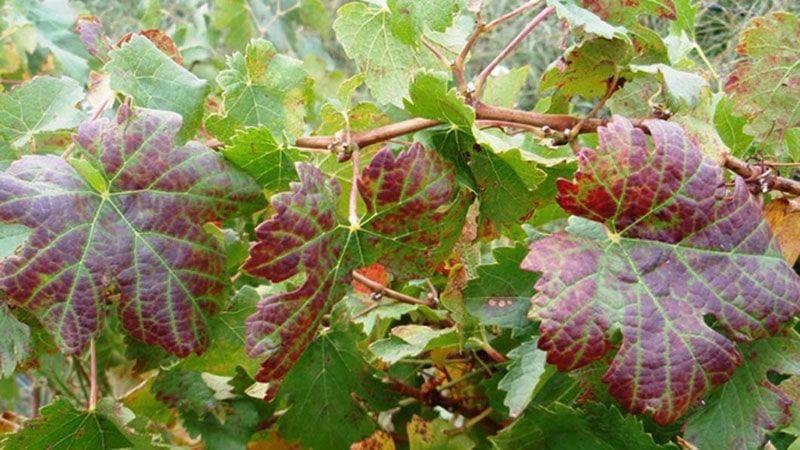 What's symptom Grape leaf roll disease ?
